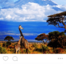 STA Travel photo of Kilimanjaro and giraffes in Africa